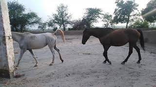 Horse Breeding Live Cover Video in Full Open Farm