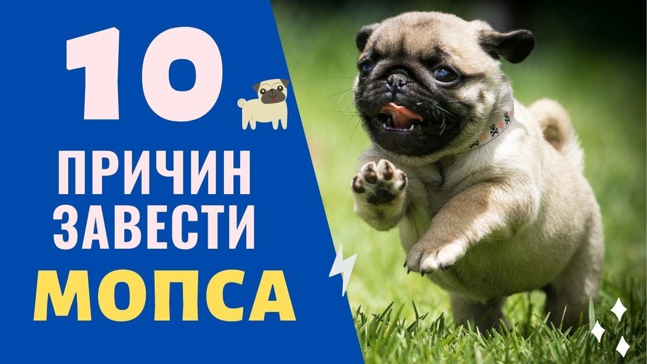 10 причин завести собаку мопса! Смешные щенки мопсов, лучшие породы собак!