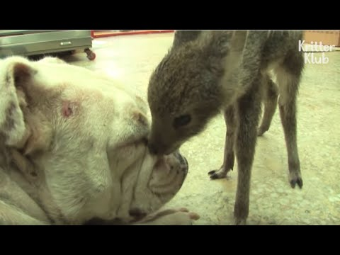 Dog's 'This' Made This Baby Deer Have A HUGE Crush On Her | Kritter Klub