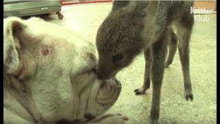 Dog's 'This' Made This Baby Deer Have A HUGE Crush On Her   Kritter Klub