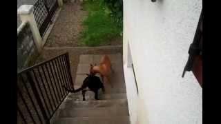 Boxer Male Vs Rottweiler Female