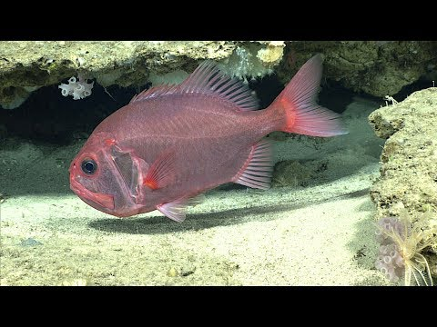 Facts: The Orange Roughy