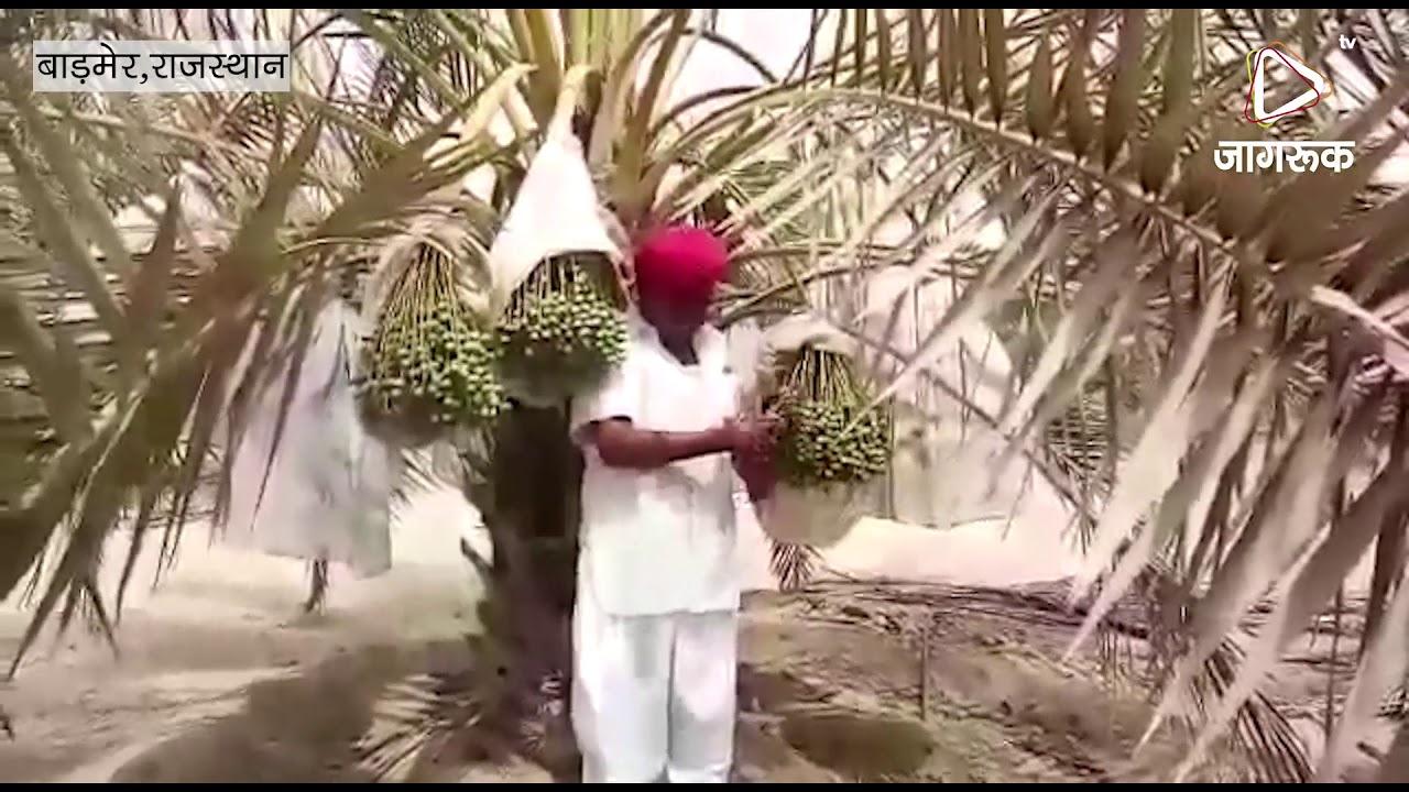 थार में खजूर की खेती