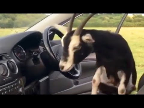 The Woody Show - Adorable British Guy Introduces You to His Pet Goat