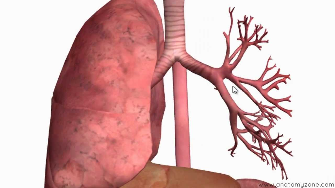 Respiratory System Introduction Part 2 Bronchial Tree And Lungs