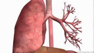 Respiratory System Introduction - Part 2 (Bronchial Tree and Lungs) - 3D Anatomy Tutorial