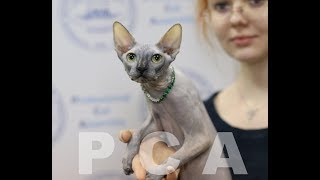 Кошка канадский сфинкс. Выставка кошек PCA on-line