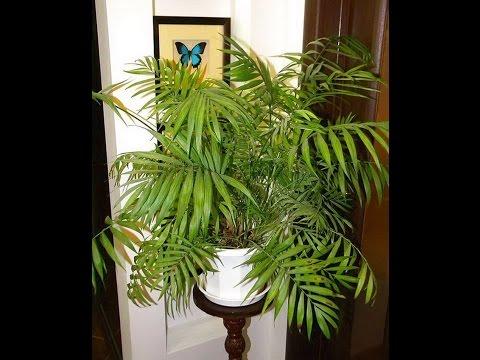комнатные растения - хамедорея