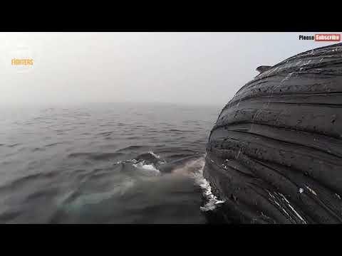 Büyük Beyaz Diş Köpek Balığı Balunayı Yiyor