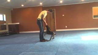 Huck The German Shorthaired Pointer | Charlotte Dog Training
