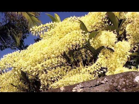 Australian Native Orchids - Burke's Backyard