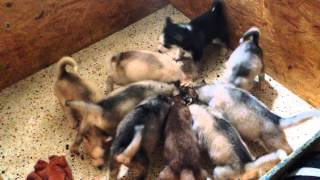 Siberian Husky Puppies For Sale 4 Left 8-26-2015