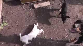 Собака и кошка:  игра и драка