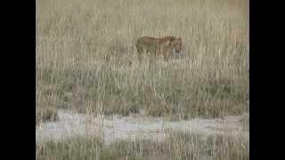 Autotour en Namibie : Lionne Parc National d'Etosha | Meltour