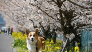 Falling Cherry Blossoms / 桜吹雪 20110401 Goro@welsh Corgi