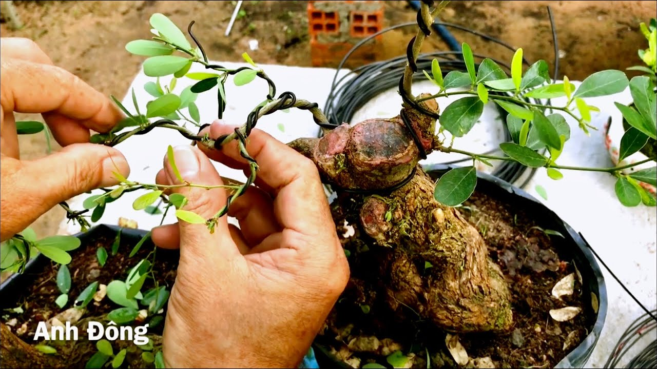 Chi tiết cách vô dây và uốn được cây bonsai đẹp