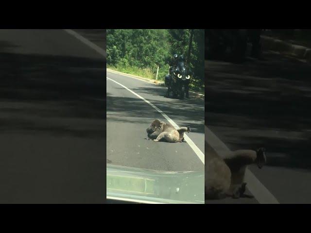 Una pelea entre dos koalas obliga a cortar el tráfico en una carretera australiana