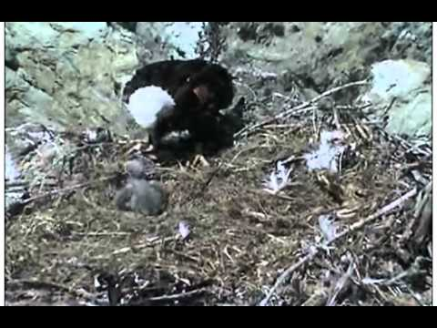 April 8 2013 - Two Harbors Eagles - 1142 am Feeding - No Love Like a Mother's Love