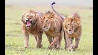 وثائقي باللغه العربيه# اتحاد الجبابرة / اقوى الاسود في عالم الحيوانات المفترسة@ وثائقي مميز
