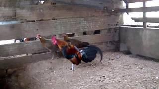 Ayam hutan original jinak berkokok...