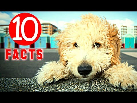 Cockapoo - 10 Facts that Prove it's a Perfect Dog Breed