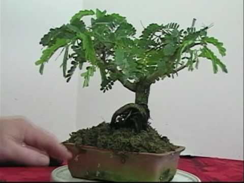 Bonsai The New Easy Method 113 Tamarind Trim C 2013 17 Dr G M Levitt Youtube