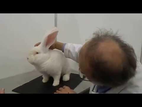 Кролики породы Фландр: содержание и разведение