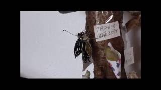 ナミアゲハ蝶の羽化シーン、飛び立つまで。
