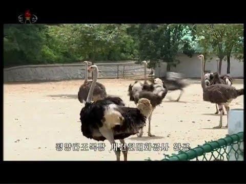 Pyongyang Ostrich Farm rebuilt on modern basis