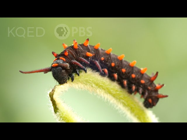 The Pipevine Caterpillar Thrives in a Toxic Love Triangle   Deep Look