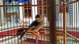 Pancingan suara STANDART Poksay Mandarin agar ikut GACOR bikin Ngeler Kicau MANIA