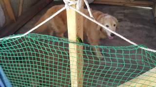 ゴールデンレトリバーに会いに来た玉虫 8月16日 thumbnail