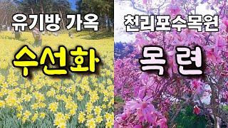 서산 유기방가옥 수선화 & 태안 천리포수목원 목…