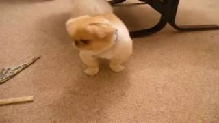 :-( Pekingese Potty Training ;-)