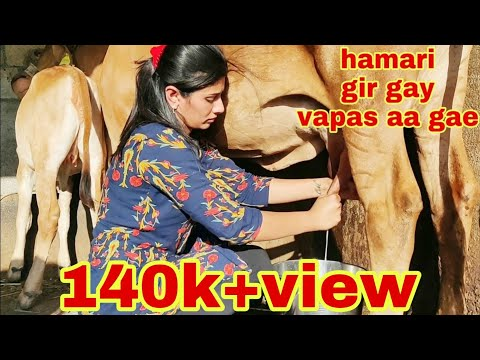 Indian gir cow full milking by hand video.. gir guy milking video dairyfarm gujarat.
