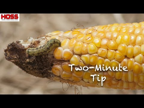 How To Keep Ear Worms From Eating Your Corn You