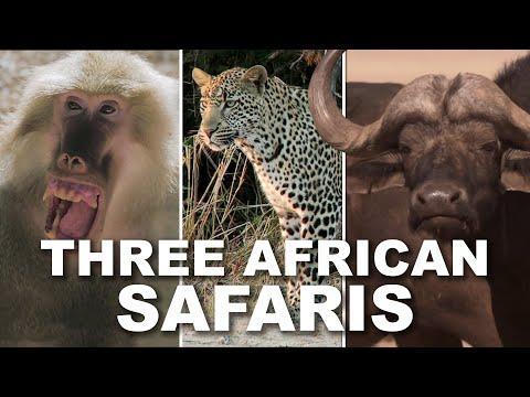 SAFARI TRIO! Leopard, Cape Buffalo, and Baboon Special!