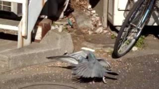 Pigeon's fight in Tokyo, Tachikawa-ku:) 東京の立川、鳩のケンカ;)