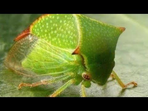 Цикадка на винограде, повреждения кисти Аркадии, чем бороться с цикадой.