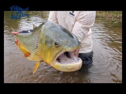 Emocionante pesca de dorados en Salta