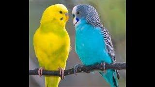Эксперемент что будет если включить пение попугаев попугаю
