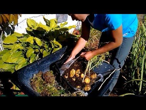 видео: Гигантский картофель в ящике  -  двухметровая ботва и большие клубни!