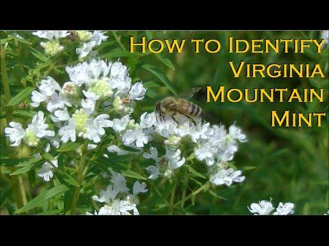 Virginia Mountain Mint Identification