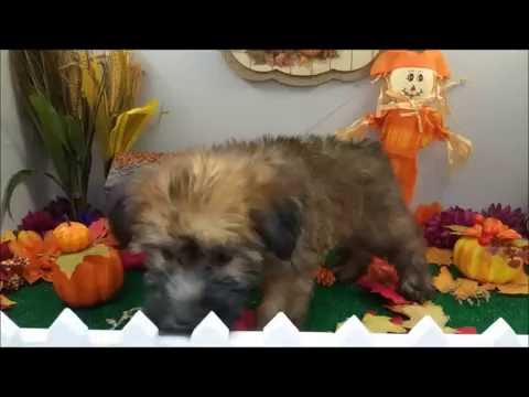Male Soft Coated Terrier Puppy