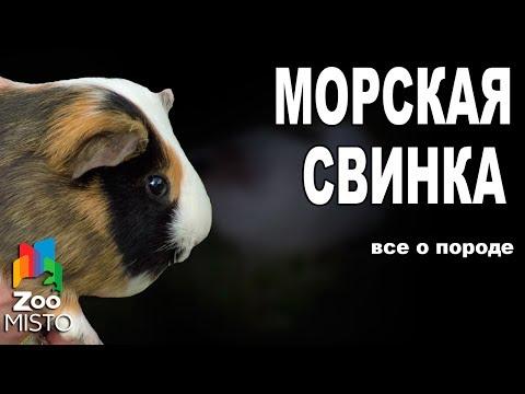 Морская свинка - Все о виде грызуна | Вид грызуна - Морская свинка