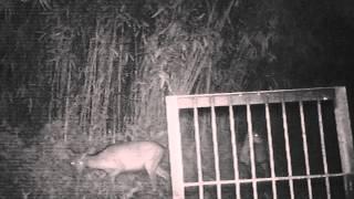 箱わなの前を鹿が2頭通過しました。