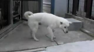 愛想のよい紀州犬・花を犬舎から出した時の様子です。 おやつは持ってい...