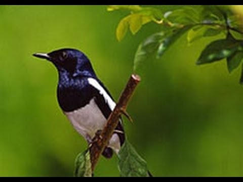 DOYEL (Oriental magpie-robin) NATIONAL BIRD OF BANGLADESH