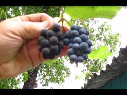 ЗАПРЕЩЕННОЕ ВИНО из ЧЁРНОГО ВИНОГРАДА | плодовоягодное | самодельное | виноградное | домашнее | сделать | компота | самому | яблок | фрукт | сидр