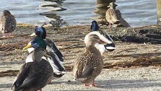 Birds at Camp Ellis (Saco ME USA)